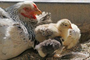 ChickenAppreciationSociety-Chicken